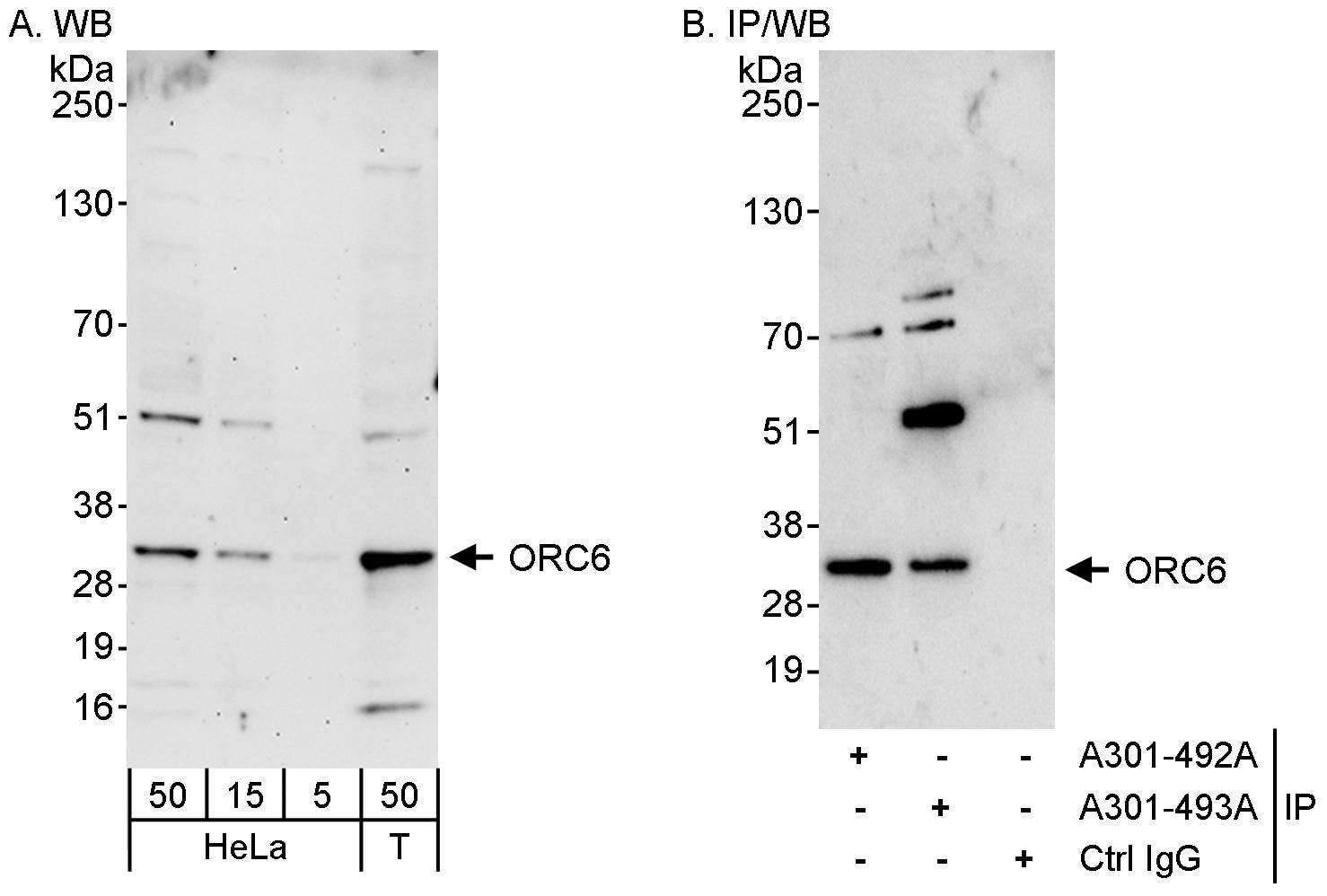ORC6 Antibody in Western Blot (WB)