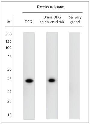 proBDNF Antibody in Western Blot (WB)