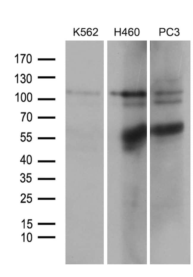 OTUD7B Antibody in Western Blot (WB)