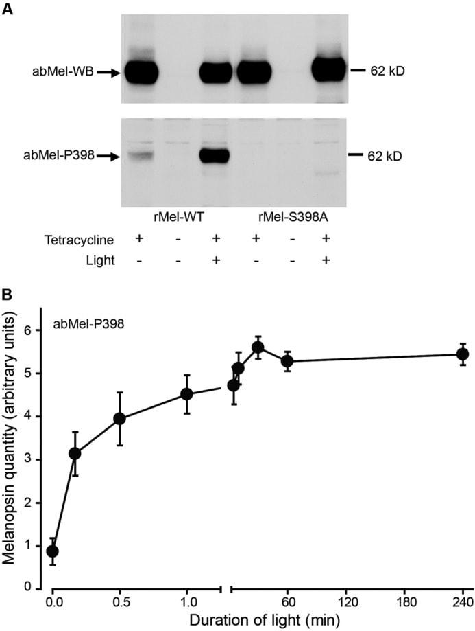 Opsin 4 Antibody