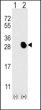 Osteocalcin Antibody in Western Blot (WB)