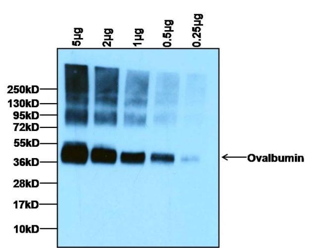 Ovalbumin Antibody Pa1 196