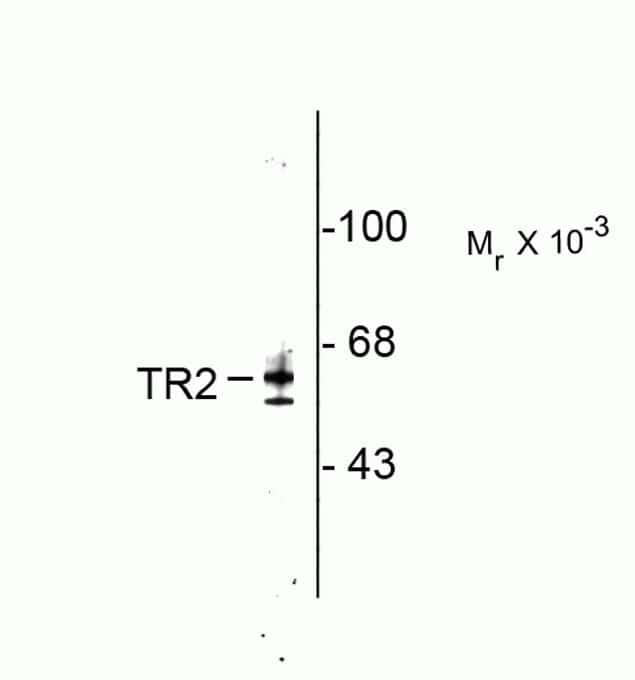 TR2 Antibody in Western Blot (WB)
