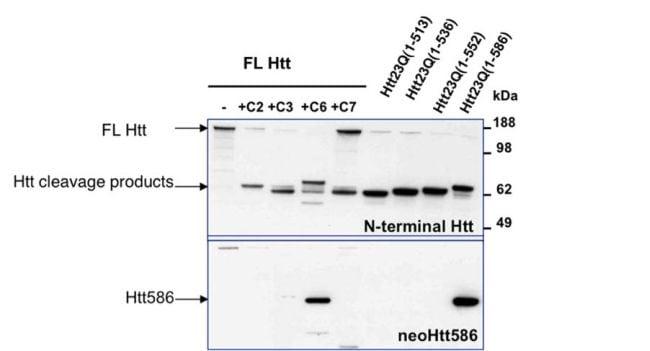 Huntingtin Antibody in Western Blot (WB)