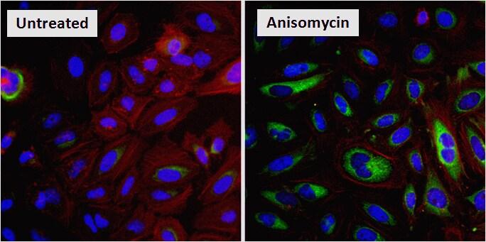 Phospho-HSP27 (Ser85) Antibody in Cell treatment