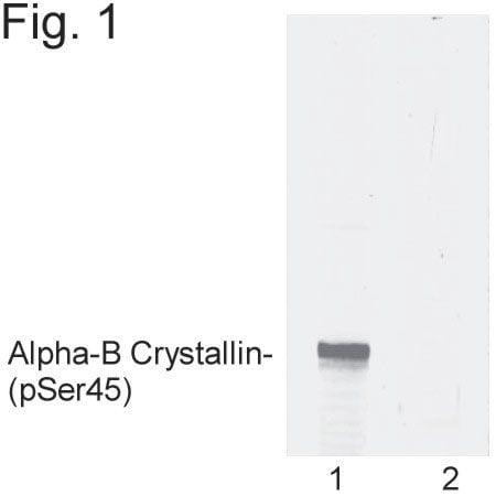 Phospho-CRYAB (Ser45) Antibody in Western Blot (WB)