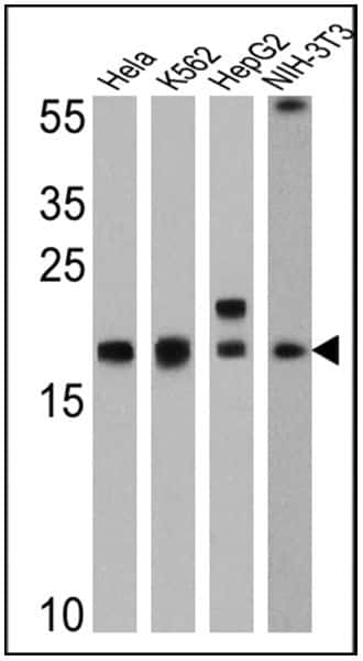 Cyclophilin A Antibody in Western Blot (WB)