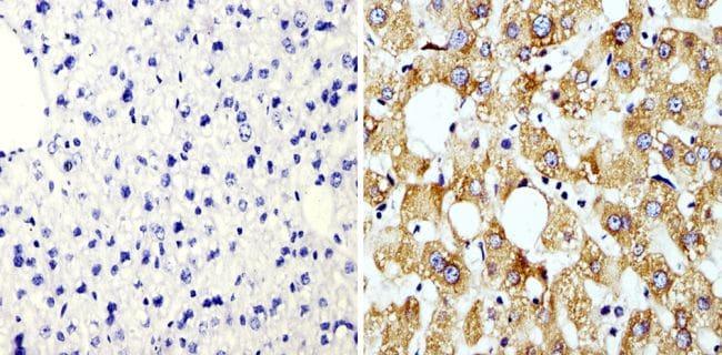 Cyclophilin B Antibody in Immunohistochemistry (Paraffin) (IHC (P))