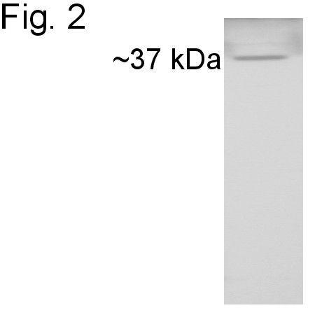 Cyclophilin 40 Antibody in Western Blot (WB)