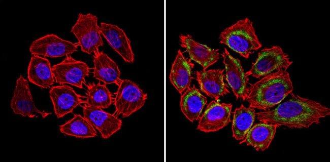 nNOS Antibody in Immunofluorescence (IF)