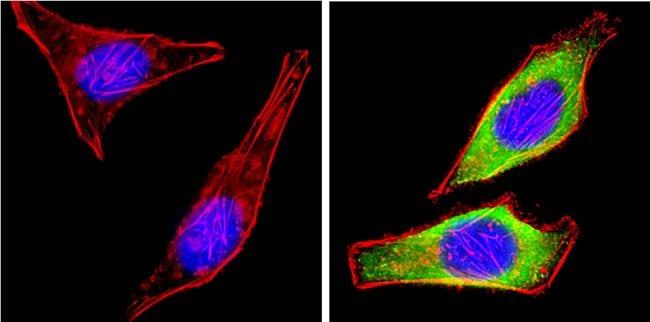 Leptin Antibody in Immunofluorescence (IF)