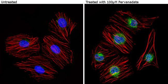 Phospho-Caveolin 2 (Tyr19) Antibody in Immunofluorescence (IF)