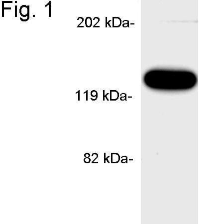 APBA1 Antibody in Western Blot (WB)