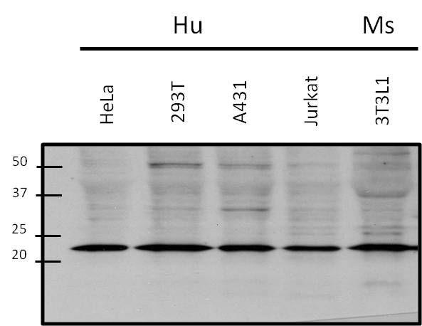 RAC1 Antibody in Western Blot (WB)