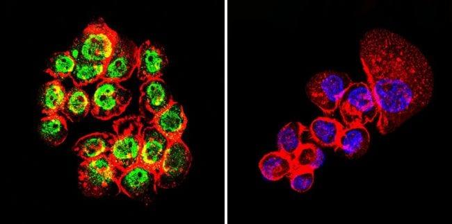 GATA1 Antibody in Immunofluorescence (IF)