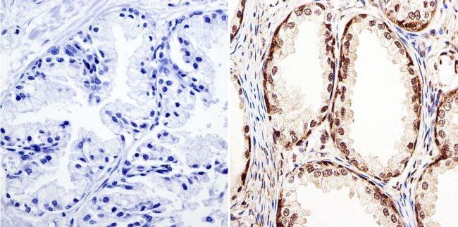 GATA2 Antibody in Immunohistochemistry (Paraffin) (IHC (P))