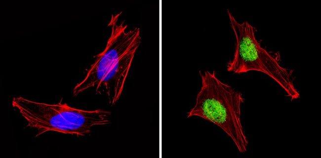PAX7 Antibody in Immunofluorescence (IF)