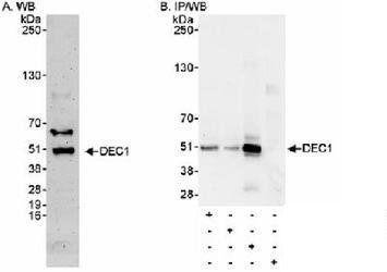 BHLHE40 Antibody in Western Blot (WB)