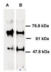 ABCE1 Antibody in Western Blot (WB)