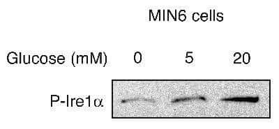 Phospho-IRE1 alpha (Ser724) Antibody in Western Blot (WB)