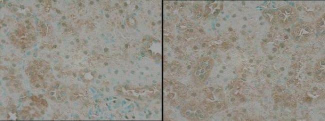 TNIK Antibody in Immunohistochemistry (Paraffin) (IHC (P))