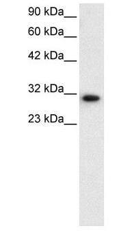 DBP Antibody in Western Blot (WB)
