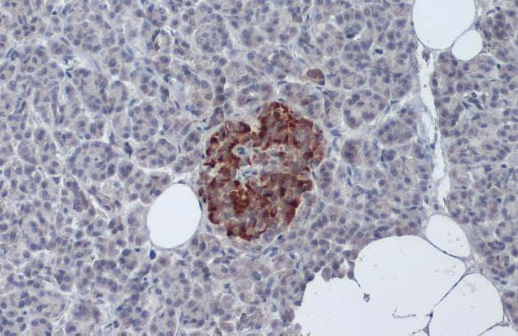 Insulin Antibody in Immunohistochemistry (Paraffin) (IHC (P))
