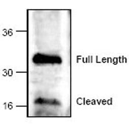 Caspase 6 Antibody in Western Blot (WB)