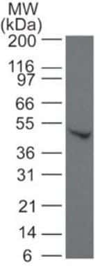 SMAD6 Antibody in Western Blot (WB)