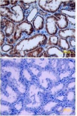 Epo Antibody in Immunohistochemistry (Paraffin) (IHC (P))
