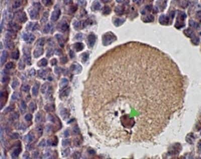 SCP1 Antibody in Immunohistochemistry (Paraffin) (IHC (P))