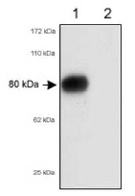SR-BI/SR-BII Antibody in Western Blot (WB)