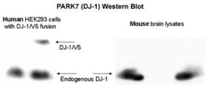 DJ-1 Antibody in Western Blot (WB)