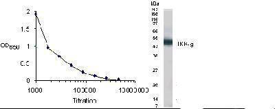 IKK gamma Antibody in Western Blot (WB)