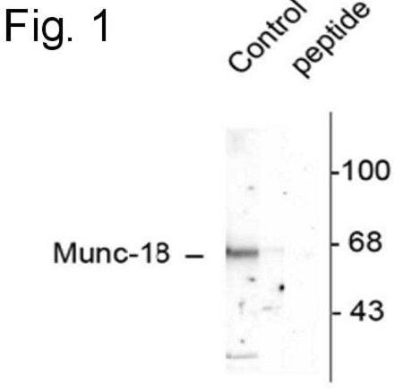 Phospho-MUNC18 (Ser515) Antibody in Western Blot (WB)