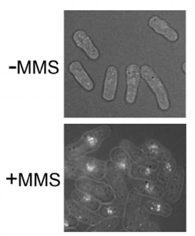 Rhp51 Antibody in Immunocytochemistry (ICC)