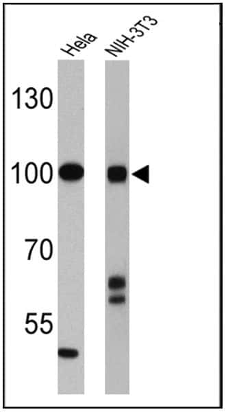 CLOCK Antibody in Western Blot (WB)
