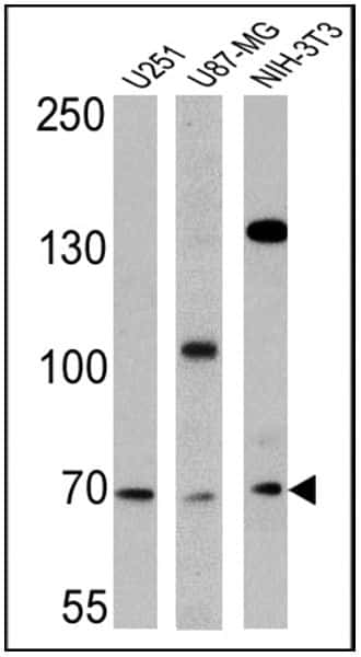 BMAL1 Antibody in Western Blot (WB)