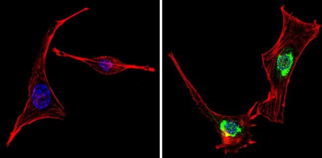 PER1 Antibody in Immunocytochemistry (ICC/IF)