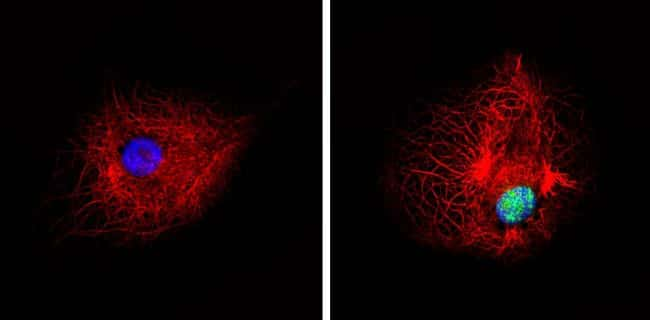 Phospho-PPAR alpha (Ser12) Antibody in Immunofluorescence (IF)
