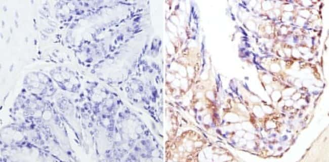 CBP Antibody in Immunohistochemistry (Paraffin) (IHC (P))