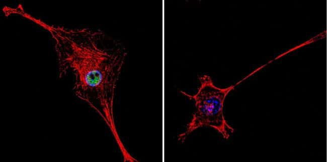 HDAC2 Antibody in Immunofluorescence (IF)