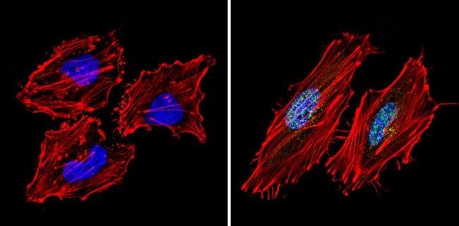 SIN3A Antibody in Immunofluorescence (IF)