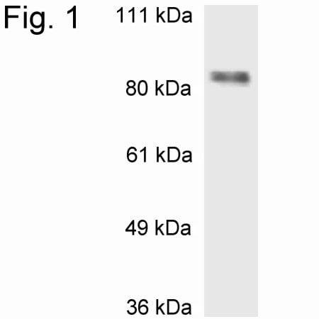 MBD1 Antibody in Western Blot (WB)