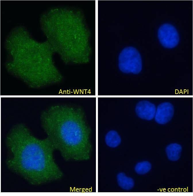 WNT4 Antibody in Immunofluorescence (IF)