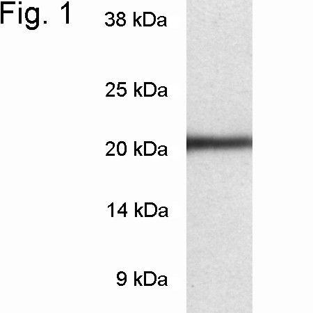PSMB8 Antibody in Western Blot (WB)