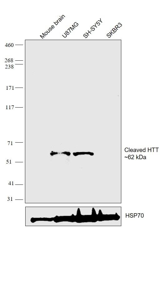 Huntingtin Antibody in Relative expression