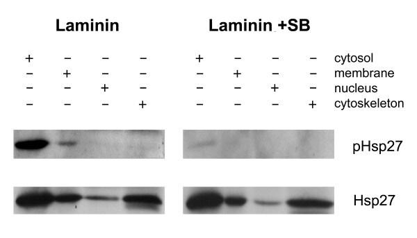Phospho-HSP27 (Ser15) Antibody