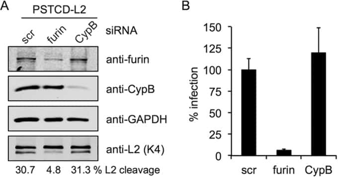 Furin Antibody