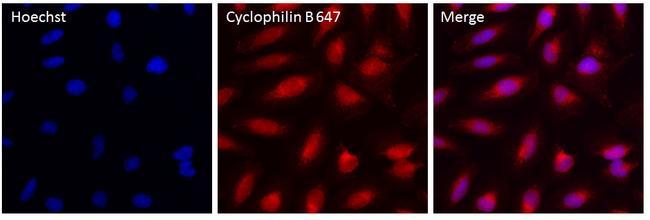 Cyclophilin B Antibody in Immunofluorescence (IF)